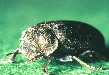 La vrillette est un insecte dont la larve s'attaque essentiellement à des bois contaminés par des champignons.
